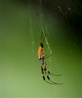 _IGP5180 - Golden Silk Orb Weaver with courting male