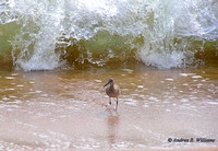 Willet and Waves