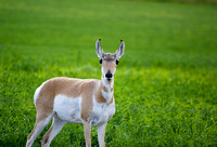 Pronghorn Calf