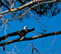 Bald Eagle at Bennett's Point