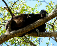 Howler Monkeys - Mom and Baby