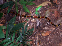 Coral Snake