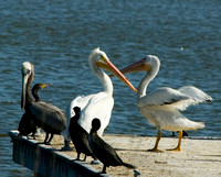 American White Pelicans, Brown Pelican, and Cormorants